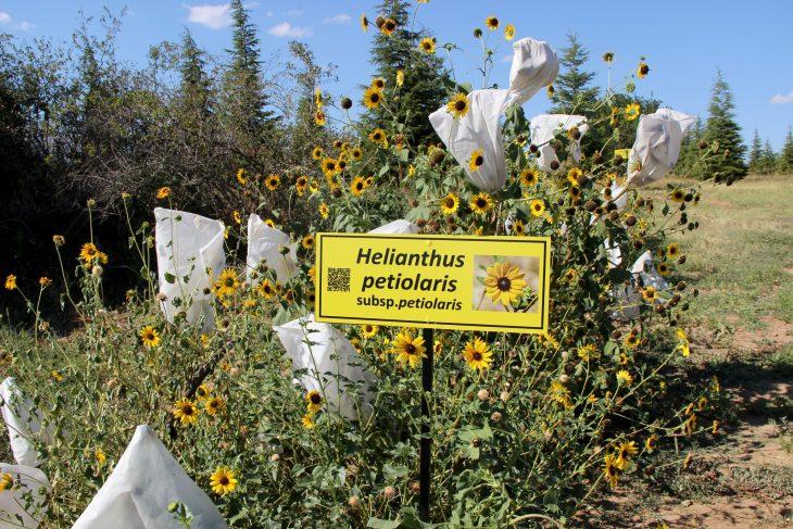"""Edirne'de """"Dünya Ayçiçeği Koleksiyonu Bahçesi"""" oluşturuldu"""