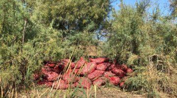 Enez'de kaçak 5 ton kum midyesi ele geçirildi