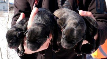 Edirne'de karda doğum yapan köpek ve yavruları donmak üzereyken kurtarıldı
