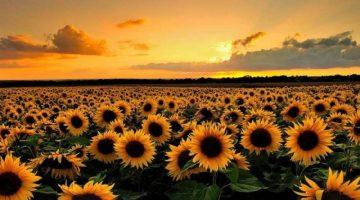 Edirne Ziraat Odaları Koordinasyon Kurulu ayçiçeği için 6 TL fiyat talep etti