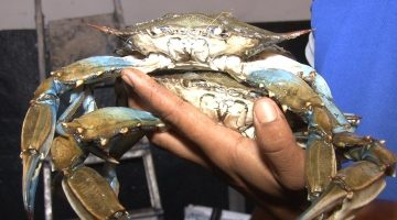 """Enezli balıkçıların imdadına """"mavi yengeç"""" yetişti"""