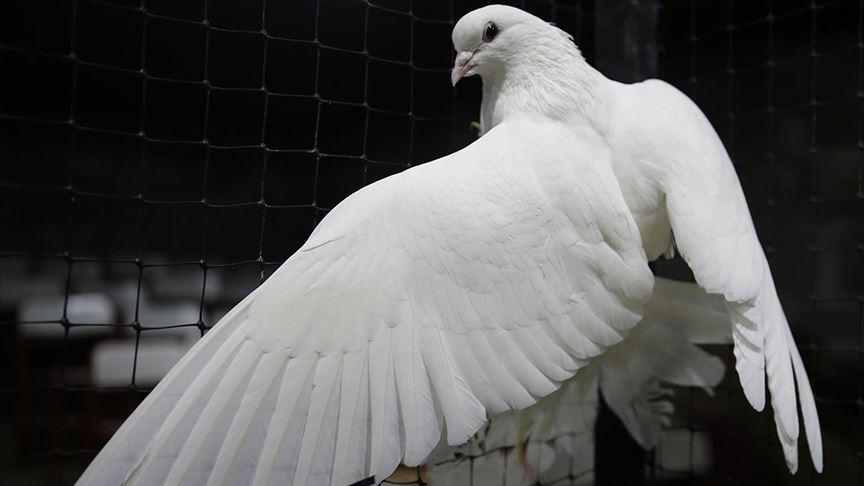 Keşan'da güvercin hırsızlığı